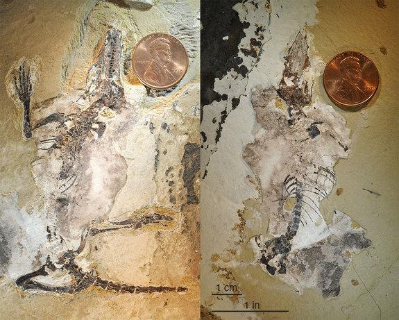 agilodocodon mammal fossil