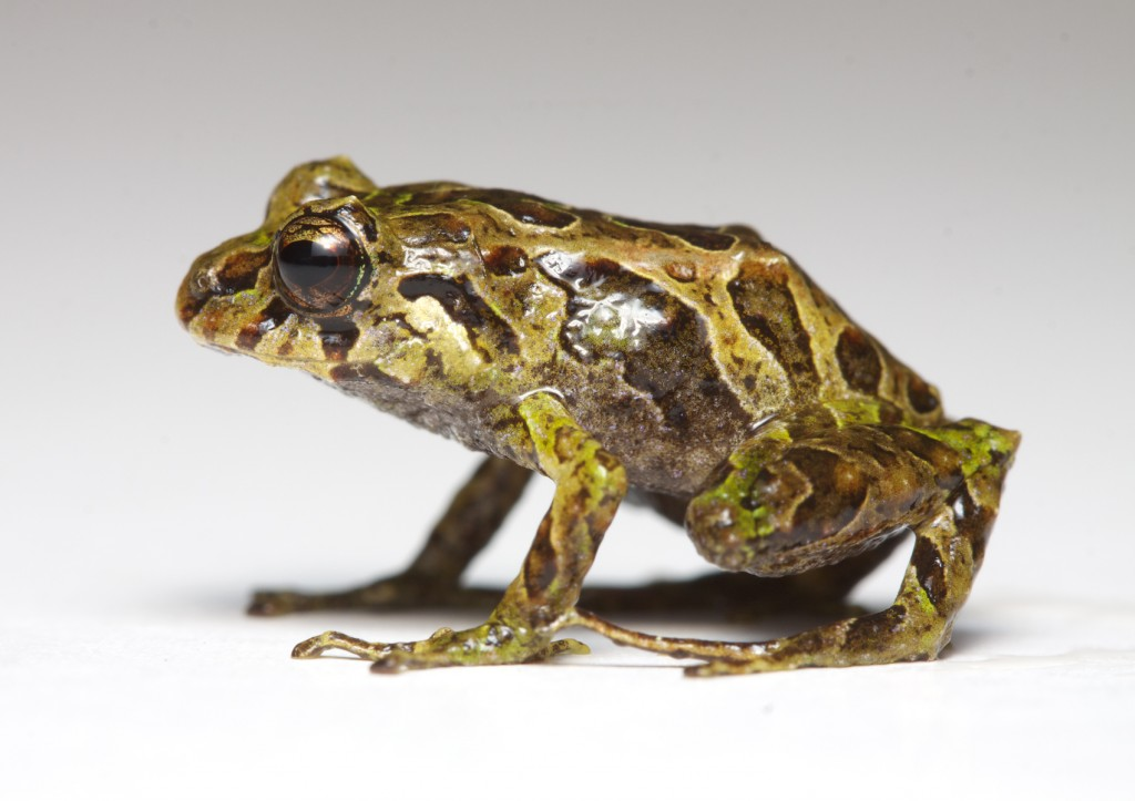 Researchers discover a frog that changes skin textures in Ecuador's Andean cloud forest
