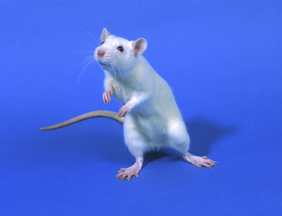 Brain compass implant enables blind rats to see using psychic GPS