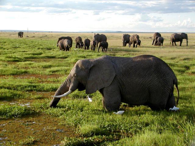 African-Elephants-Largest-herbivore