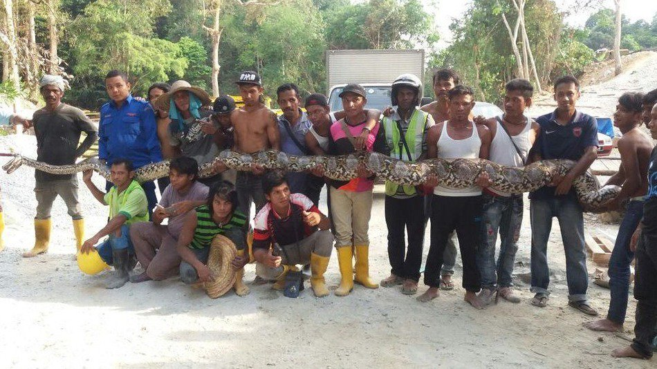 Selfie craze may have claimed another life – giant python dies shortly after capture