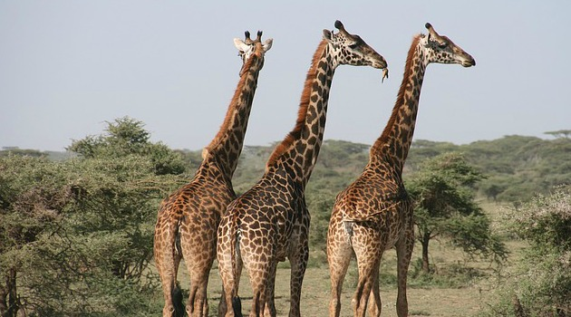Genome sequence reveals clues to giraffe's long neck