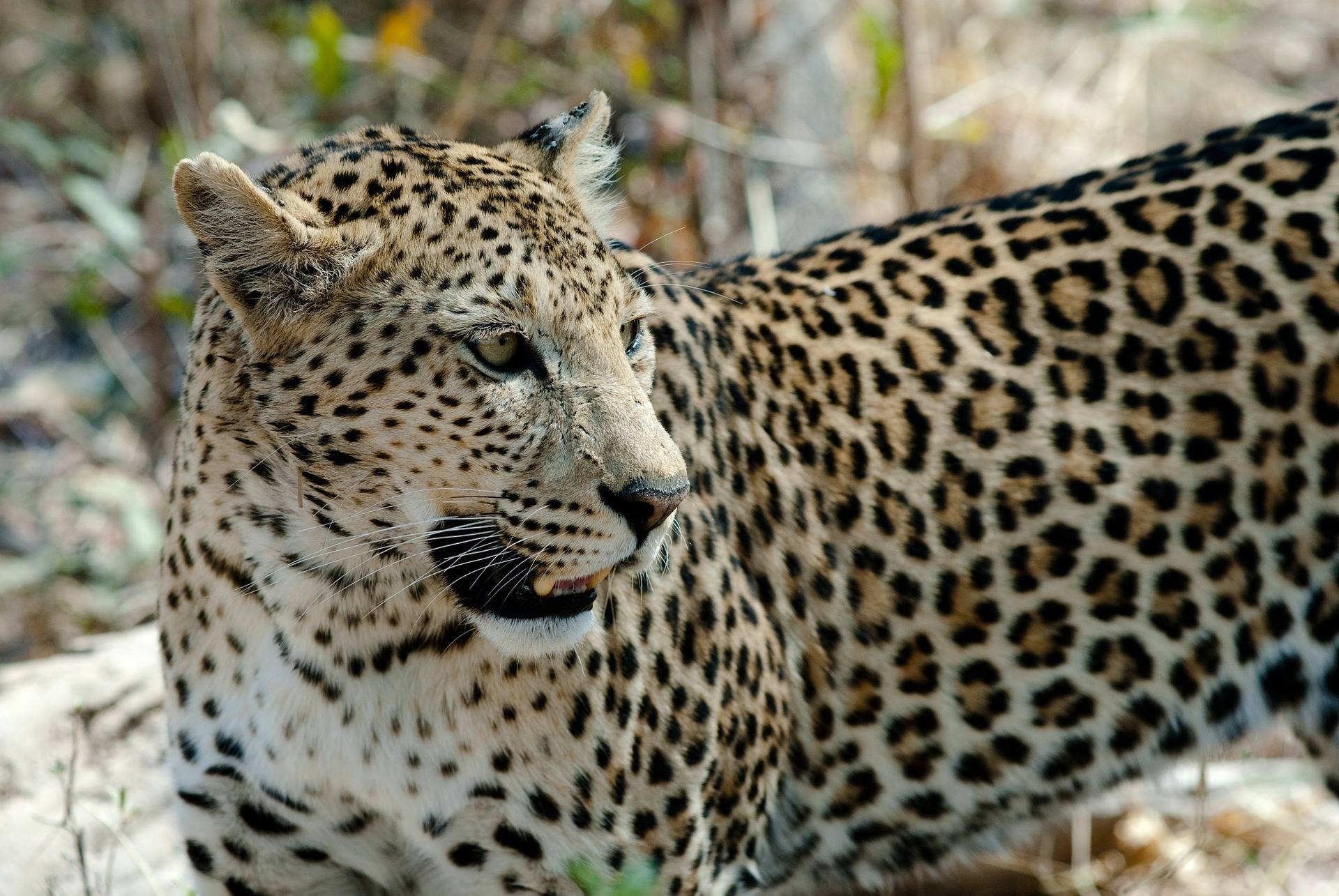 Leopards are one step closer to extinction