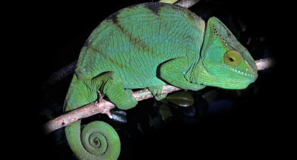 Scientists shocked by chameleon discovery