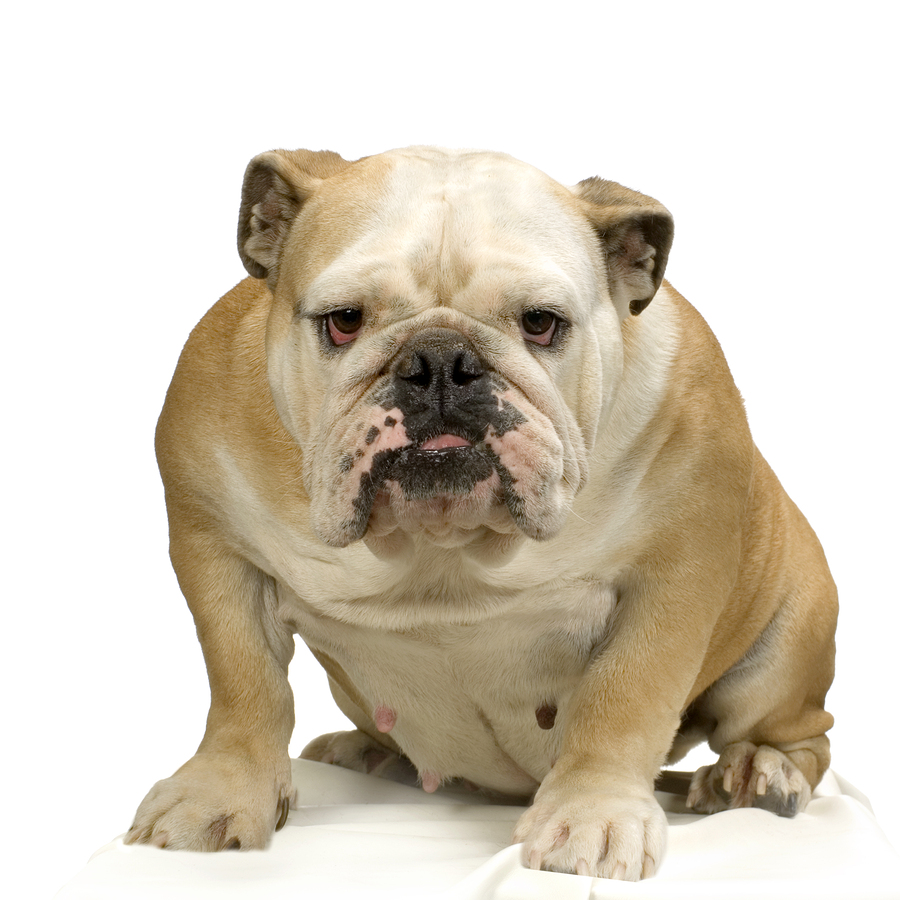English Bulldogs are being bred out of existence