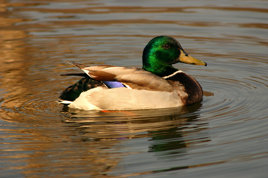 Avian flu found in duck in Alaska on major bird migratory route