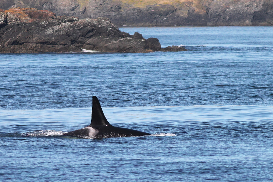 105-year-old orca killer whale spotted off coast of Washington