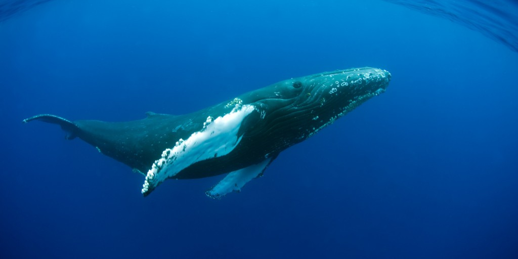 Most humpback whales to be removed from endangered species list, others remain