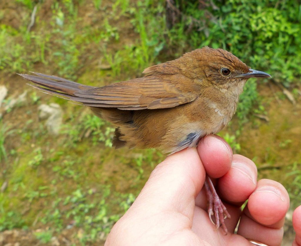 A new bird species-Sichuan Bush Warbler discovered in China