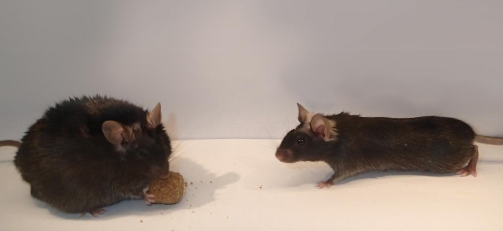 """New insights discovered on a """"no need to eat more"""" switch in the brain."""