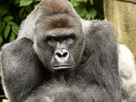 Rare gorilla killed at Cincinnati Zoo to save child who went into enclosure [VIDEO]
