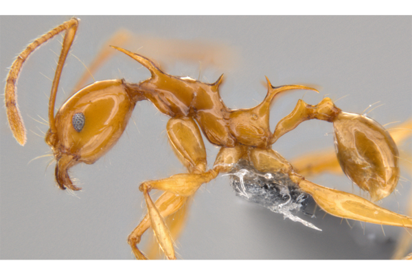 New dragon-like spiny ant species reveal surprising secrets